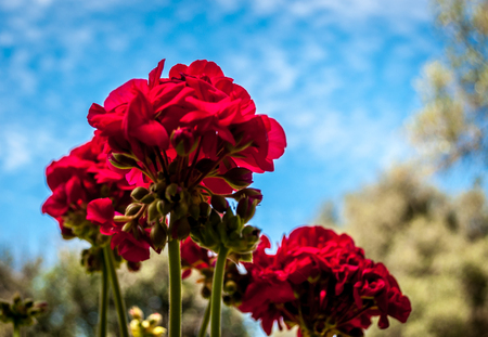 Red geraniums viewed from below under a cloudy sky in spring