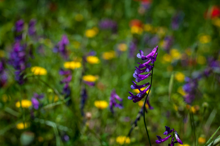 closeup of tufted vetch in a meadow with yellow and purple flowers