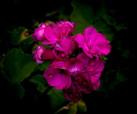 Isolated  purple geraniums on dark background