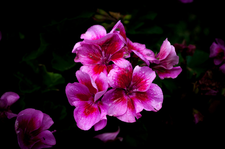 Isolated  pink and purple geraniums on dark background  with water drops