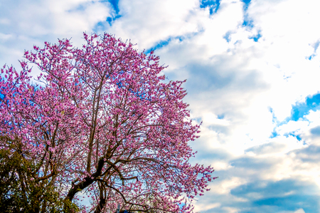 flowered almond tree in a sunny and cloudy day of spring Archivio Fotografico