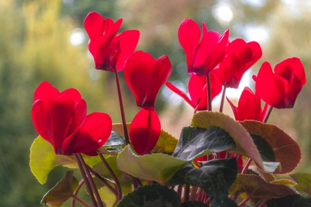 Closeup of red cyclamens in spring Stock Photo