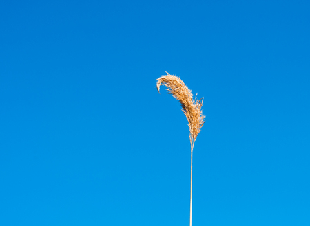 isolated reed under a blu sky