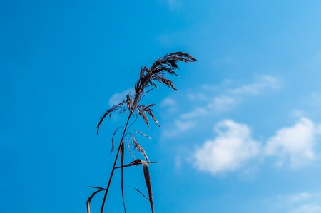 isolated reed under a blu sky in a sunny day of spring Stock Photo