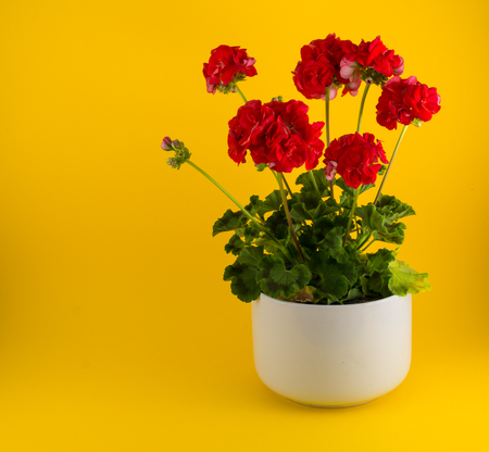 Isolated red geraniums in a white pot Stock Photo