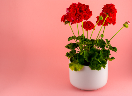Isolated red geraniums in a white pot on pink background with copy space