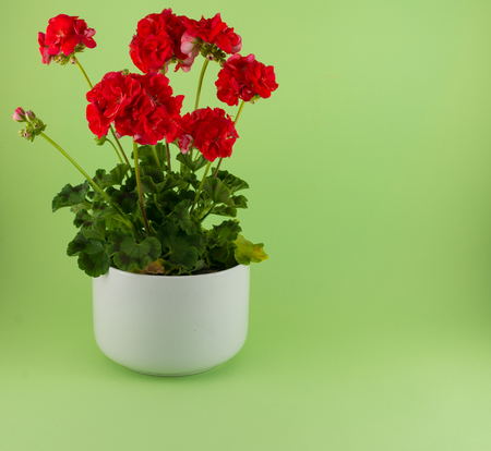 Isolated red geraniums in a white pot