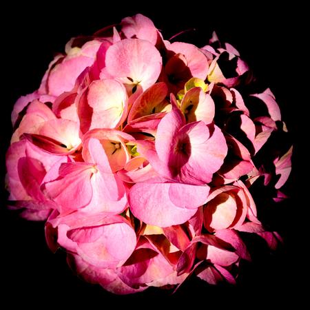 Isolated pink hydrangea