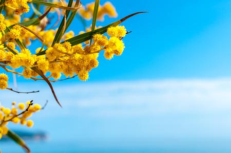 mimosa flowers under blue sky Standard-Bild
