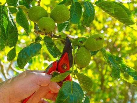 hand using a shears in a garden cutting fresh walnuts