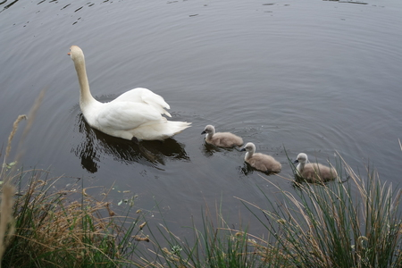 Swan mother and father with three chicks Stock Photo