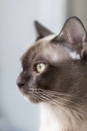 Portrait of a Burmese cat with yellow eyes and a blurred background Banque d'images - 164226647