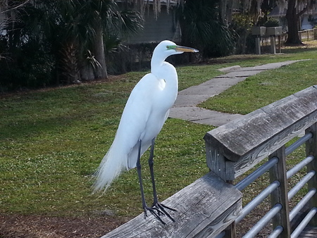 Great White Heron standing on a rail Stock Photo