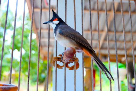 Close-up Red-whiskered Bulbul at my home.