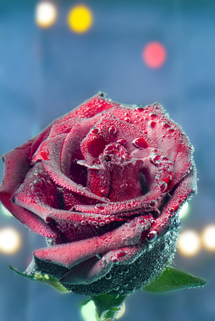 the beautiful red rose in the bubbles