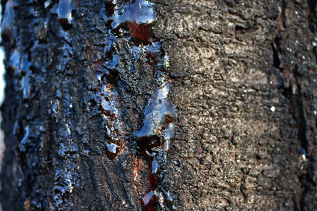 organic life concept solid resin frozen sticky juice on the bark of a tree trunk nature tree disease Imagens