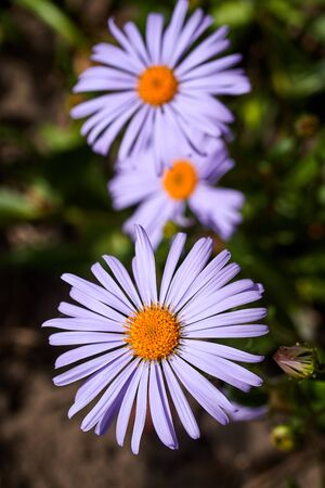 beautiful purple asters on a summer day