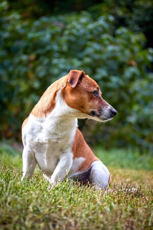 cute beautiful dog breed Jack Russell in profile on a walk