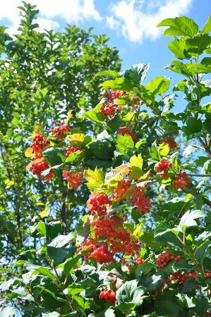 guelderrose: Berry a guelder-rose Stock Photo