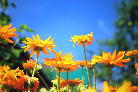 Schöne orange Nahaufnahme der Ringelblume (Calendula)