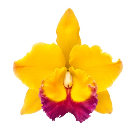 yellow&purple catleya orchid isolated on white photo