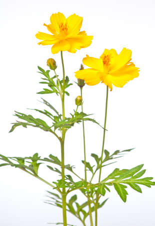yellow cosmos blooming on white background