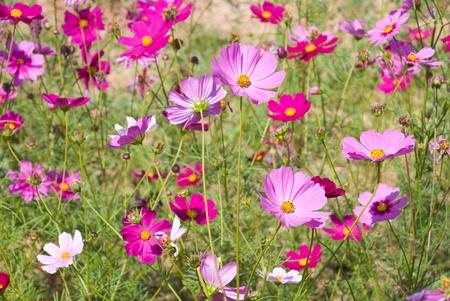 cosmos flower in plantation