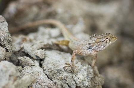 chameleon lizard: chameleon, lizard