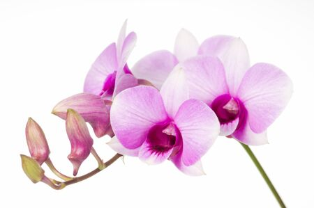 bunchy: beautiful orchid bunchy on white background