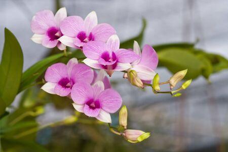 bunchy: hermosa rosa orqu�dea bunchy de jard�n