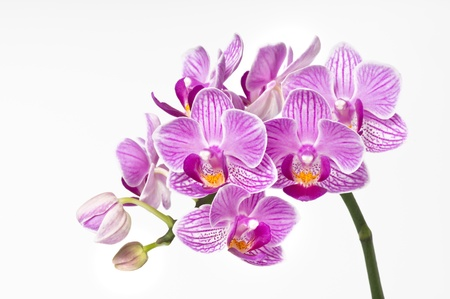 bunchy: beautiful pink orchid bunchy, phalaenopsis  Stock Photo
