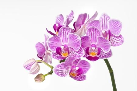 bunchy: hermosa rosa orqu�dea bunchy, phalaenopsis