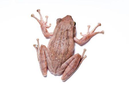 amphibian: frog, tree frog the amphibian