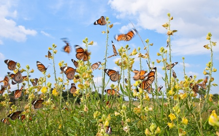 many butterfly with yellow flower against blue sky  photo
