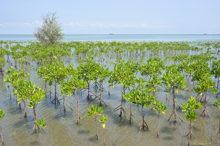 young mangrove forest at seaside Stock Photo