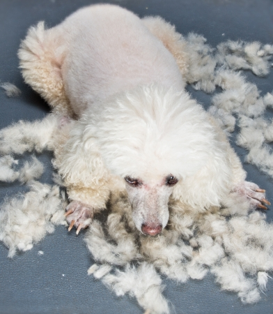poodle dog between grooming with its hair