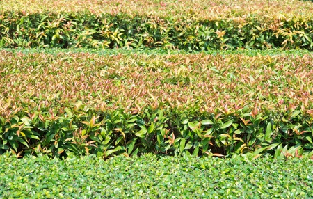 trimmed: row of trimed bush in park Stock Photo