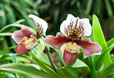 paphiopedilum: beautiful orchid from garden   lady slipper orchid