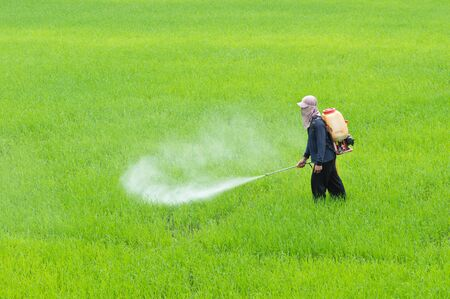 A farmer spraying fertilizer or insecticide in paddy field
