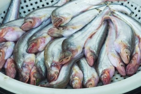 sheatfish: Venta Sheatfish en el mercado local, Tailandia Siluridae, Siluriformes