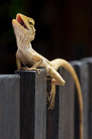 prin: iguana Foto de archivo