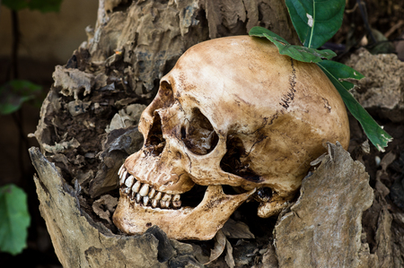 Still life photography, Human skull with decay timber and green leaf in jungle conce Stock Photo