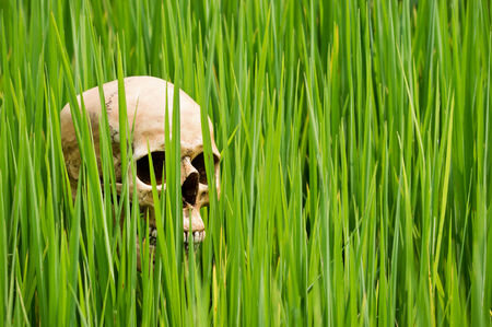 Human skull at rice paddy field in danger from chemical substance concept