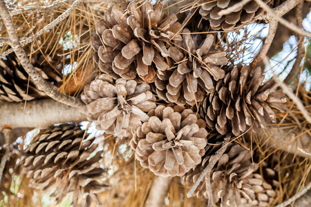 drought: A set of drought acorns hanged to their tree Stock Photo