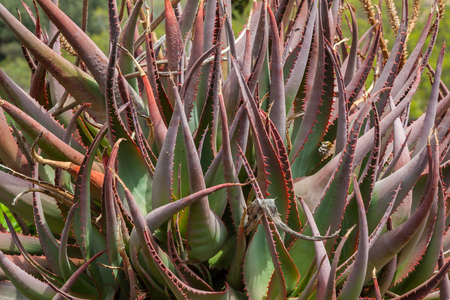 red bush: A green and red bush made of cactus quills Stock Photo