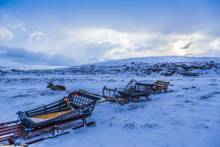 Reeinder resting close to its sled in norwegian lapland in wintertime