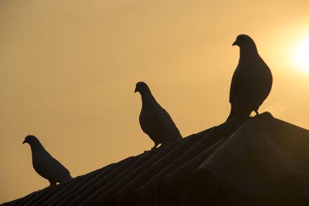 slash: Pigeon