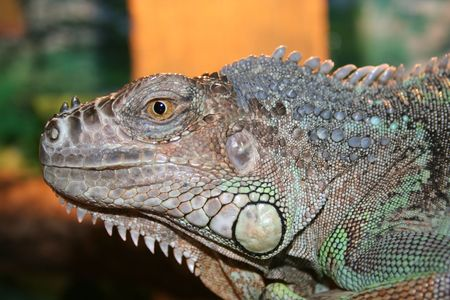 insensitive: big iguane lizard head Stock Photo