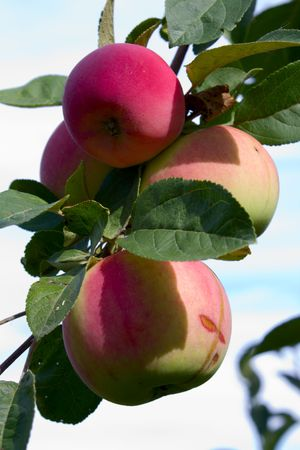 Red apples with green leaves on a background of the sky, ripe and tasty.
