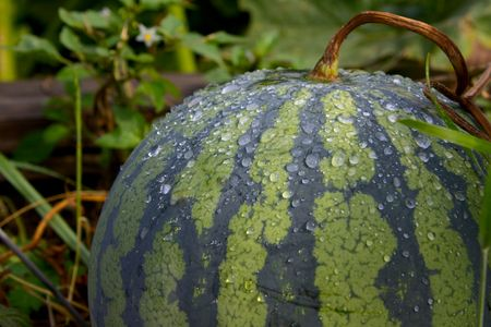 melon field: The small water-melon striped on a brown melon field lays on the ground